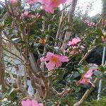 大日寺の本堂前の山茶花は弾けるように咲いていました。  ・山茶花の弾けるやうに咲いてをり(和良)