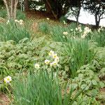 真鶴岬の崖にはたくさんの水仙がへばりつくように咲いていました。   ・真鶴の岬に水仙群れて咲く(和良)