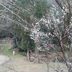 徳島市中央公園の西の丸への登山口で満開の白梅に出合いました。    ・早々と満開なりし白梅は(和良)