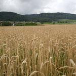 レマン湖の北岸でも麦がたわわに実っていました。                                    ・里山は静かなりけり麦の秋(和良)