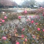 徳島市中央公園の薔薇園では薔薇が冷たい雨に打たれていました。    ・群れ咲いて孤高でありし寒の薔薇(和良)