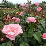 藍住町の薔薇園では300種1100株が咲き競っていました。        ・散るもあり咲き初むもあり薔薇の園(和良)