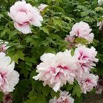 石井町の地福寺には牡丹も咲いていました。              ・白牡丹には午後の日の強過ぎる(和良)