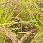 古代米は穂が赤かったです。丈が高いので倒れそうでした。  ・遠目にも穂先の赤き古代米(和良)