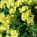 おきざり草の学名はオキザリス。カタバミ科カタバミ属の花です。 ・春近しおきざり草の犇めける(和良)