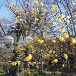 皇居東御苑の蝋梅です。外国から来た観光客も香りを楽しんでいました。  ・蝋梅の香に誘はれて苑に入る(和良)