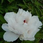 阿波市土成町の牡丹は大方が散り,残った牡丹が雨に濡れていました。   ・牡丹の残花に残る夜半の雨(和良)