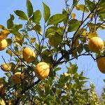 石井町にある農業大学の実習農場の檸檬です。大きな実をつけていました。 ・完熟の檸檬にカプリ島をふと(和良)