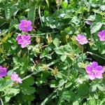 阿蘇の草千里で見たげんのしょうこの花です。美しい青紫色でした。 ・高原のげんのしょうこの花の色(和良)