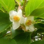 沙羅の花は一日限りの花です。落下した後も白が美しいです。      ・落ちてなほ白のまばゆき沙羅の花(和良)
