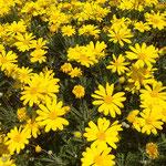 藍住町を散歩していますと中学校の校庭に黄色い花が咲いていました。 ・校庭に黄色い秋の花咲かせ(和良)