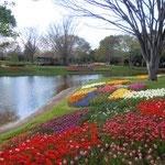 立川市の昭和記念公園のチューリップです。家族連れがたくさん来ていました。      ・家族連れ多き公園チューリップ(和良)
