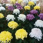 菊花展の花壇には大輪の菊の鉢が背丈を揃えて並べられていました。   ・揃ひ咲き揃ひ咲かせて菊花展(和良)