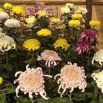 吉野川市鴨島町では菊人形の無い菊花展が開かれました。  ・菊花展菊人形の無き今年(和良)