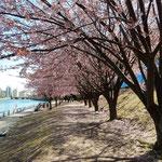 植樹して15年になる助任川南岸の蜂須賀桜はこんなに大きく育ちました。 ・川縁に桜並木の美しく(和良)