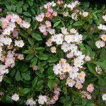 藍住町の薔薇園には小振りの薔薇もあり美しかったです。        ・小振りなる薔薇は犇めくやうに咲き(和良)