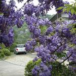 神山町の神光寺の藤の花です。棚の裏側から見ると輝いて見えました。  ・翳し見ていよいよ濃かり藤の花(和良)