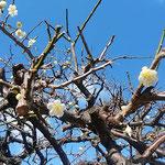 万福寺の白梅は青空を背景にして白が浮かび上がって見えました。    ・青空へ白梅の白際立ちて(和良)