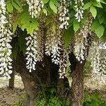 年輪を数えた石井町の白藤の幹は太くごつごつしていました。      ・白藤の幹ごつごつとして太く(和良)