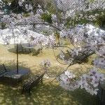 リゾートホテルの野外結婚式場となる庭にも桜が散っていました。    ・桜散るバージンロードなる庭に(和良)