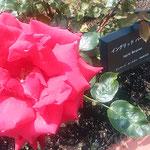 薔薇園にはイングリッドバーグマンという薔薇もありました。      ・イングリッドバーグマンなる薔薇も赤(和良)