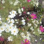 石井町で田の中の墓に寄り添うように咲くコスモスを見ました。 ・田の中の墓に寄り添ひ秋桜(和良)