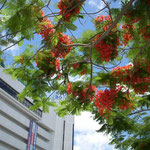 那覇市では街路に植えられた鳳凰木が真っ赤な花をつけていました。  ・琉球の花は原色雲の峰 (和良)