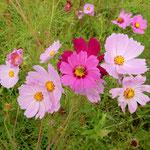 最盛期を過ぎても、まだ咲き続けるコスモスがありました。       ・コスモスのまだ咲いてゐるひとところ(和良)