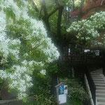 深大寺の本堂横のなんじゃもんじゃの大木に花が咲いていました。    ・本堂になんじゃもんじゃの白い花(和良)