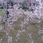 公園の真ん中にある垂れ桜は日本画のように美しかったです。       ・しなやかにまたたおやかに糸桜(和良)