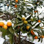 我が家の庭の金柑です。雪を乗せた金柑は輝いて見えました。            ・雪乗せて金柑の色増しにけり(和良)