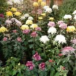 多種類の菊を集めたコーナーもありました。                ・それぞれの菊に個性のありにけり(和良)