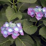 鴨島町の江川の岸辺で見た紫陽花です。色が綺麗でした。 ・日陰ほど色を増したり七変化(和良)