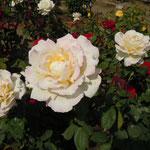 少しずつ開花時期をずらして薔薇が植えられていました。                                ・薔薇の園盛りの薔薇の次々に(和良)