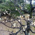 徳島城公園の梅林では白梅に笹子が来て止っていました。  ・蜂須賀の御殿の梅に笹子来る(和良)