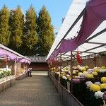 旧徳島城表御殿庭園で菊花展が開かれていました。            ・蜂須賀の御殿の庭の菊花展(和良)