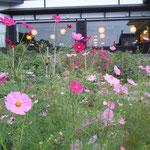 小樽市の小樽貴賓館(旧青山別邸)は鰊漁で栄えた大網元の別邸です。                      ・コスモスや大網元の庭広し(和良)