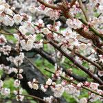 老梅の咲く土壌には一面に蕗が生えていました。                     ・梅林の土やはらかく蕗生ふ(和良)