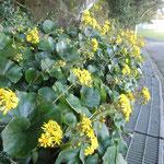 徳島城公園の北側には石蕗の花が咲き競っていました。                               ・城山の裏は日陰や石蕗の花(和良)