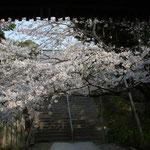 熊谷寺の二の門をくぐると満開の桜が出迎えてくれました。まさに春は爛漫でした。  ・二の門を出れば万だの花の下(和良)