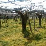 剪定の終った梨の畑には太陽の光が差し込んでいました。 ・剪定の終り明るき梨畑に(和良)