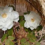 上野東照宮の冬牡丹祭では白い寒牡丹が特に印象に残りました。     ・美しく生きるは難し白牡丹(和良)