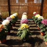 葦簀張りの吉野川市市役所前の菊花展には優しい光が差していました。  ・葦簀よりやさしき光菊花展(和良)