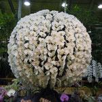 世界最大級の園芸博覧会に出品した作品も展示されていました。              ・展示せる蘭を見に行く梅雨晴れ間(和良)
