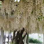 石井町にある地福寺の白藤です。豊かに垂れ下がっていました。     ・ふくよかに咲ける白藤見て飽きず(和良)