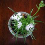 母が栽培したものですと嫁が鷺草を持って来てくれました。 ・鷺草にしばし雑事を忘れけり (和良)