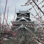 熊本城では肥後椿が終わり、紅白の梅が咲き競っていました。 ・梅明かり黒き天守の映えにけり(和良)
