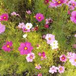 徳島市国府町の休耕田にまだコスモスが咲いていました。  ・休耕の田にコスモスのなほも咲き(和良)