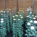 新宿御苑の菊花壇展では伊勢菊、丁子菊、嵯峨菊の展示がありました。  ・御苑かな由緒ある名の菊展示(和良)