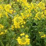 菜の花の黄色にゴッホの向日葵を思い浮かべました。  ・菜の花のこの黄どう描くゴッホなら(和良)